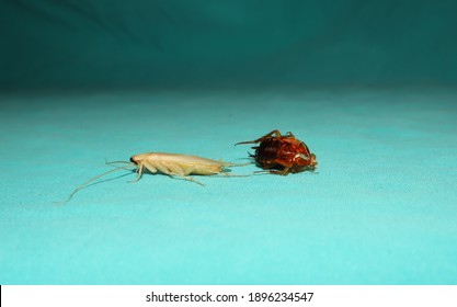 American cockroach is molting its skin. close up of cockroach on a green background. closeup cockroach isolated. insects, insect, bugs, bug, animals, animal. health, hygiene. wildlife, wild nature
