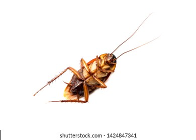 American cockroach on white background, Cockroaches are insects