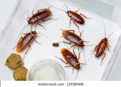 American cockroach - Periplaneta Americana in box with food and water