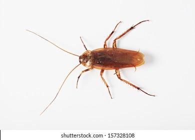 American cockroach - Periplaneta Americana isolated on white background.