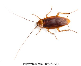 American cockroach (Periplaneta americana)  of large size with long mustache and wings. Isolated on a white background, top view.