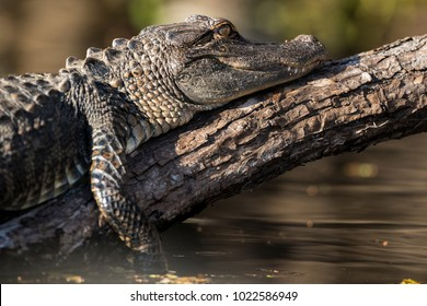 An American or Common Alligator lying on a log above the Hillsborough River in Lettuce Lake Park in Tampa Florida