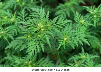 American common ragweed ( Ambrosia artemisiifolia ) causing allergy