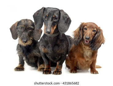 American Coocker Spaniel in a white photo studio
