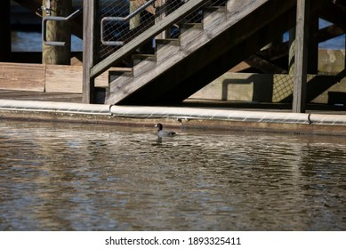 American coot duck (Fulica americana) swimming near a manmade structure