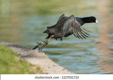American Coot Fulica americana jumping into lake in city park in Goodyear, Arizona