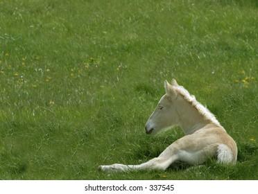 American Cream draft horse colt