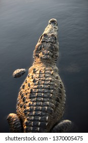 An American crocodile, Crocodylus acutus, lies still in a calm lagoon off the coast of Belize. These dangerous reptiles can grow up to 10-15 feet in length.