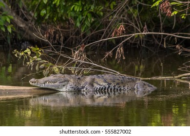 American crocodile lying or sleeping on a log in the old Belize river