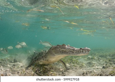 American Crocodile Underwater in Cuba's Gardens of the Queen