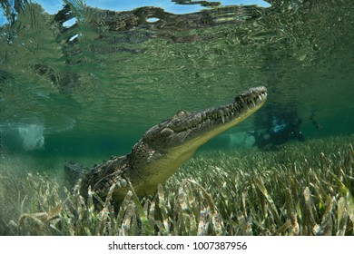 American crocodile underwater at Jardines de la Reina National Park on Cuba