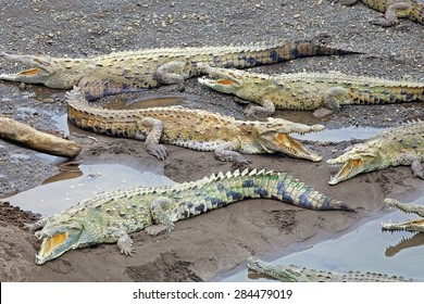 American Crocodiles bask along a river in Costa Rica.