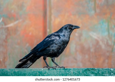 An American Crow perched on the top edge of a dumpster