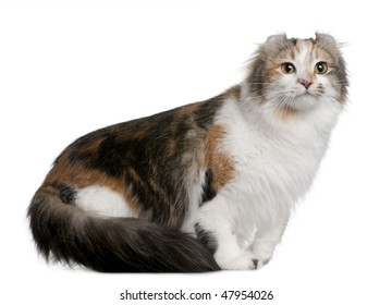 American Curl (2 years old) in front of a white background
