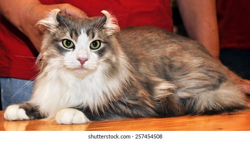 American Curl is a breed of cat characterized by its unusual ears, which curl back from the face toward the center of the back of the skull.