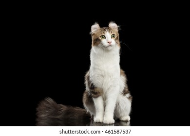 American Curl Cat Breed with twisted Ears, Sitting in front of Black Isolated background