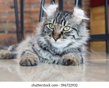 American curl cat; central face focus