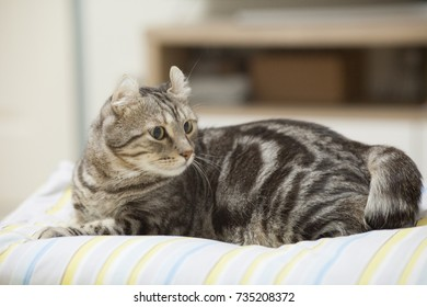 American curl cat cute little ginger kitten in the house fluffy pet sleeping on the comfortable bed relax feeling happy .