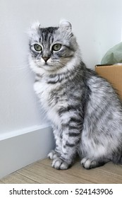 American curl cat, female silver tabby color