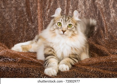 American Curl cat lying on shimmer brown background