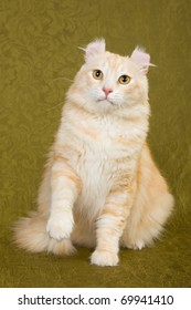 American Curl cat on green background