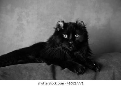 American curl cat portrait