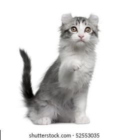 American curl kitten, 11 weeks old, sitting in front of white background
