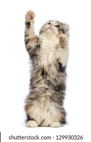 American Curl kitten, 3 months old, standing on hind leg and reaching in front of white background