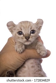 American curl kitten held in hand isolated on white