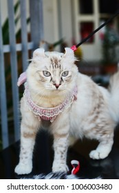 American curl link point tabby one year own