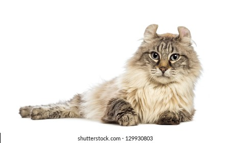 American Curl lying and looking at the camera in front of white background