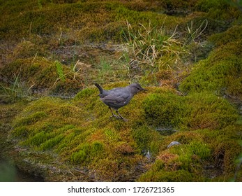 American dipper in Banff national park