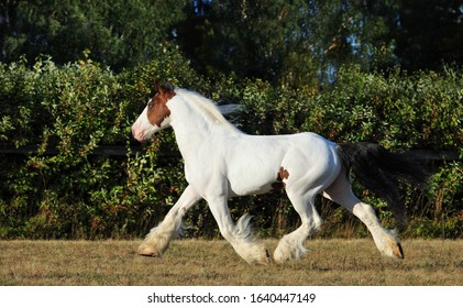 American Drum Horse is a modern American breed of heavy horse of draft type
