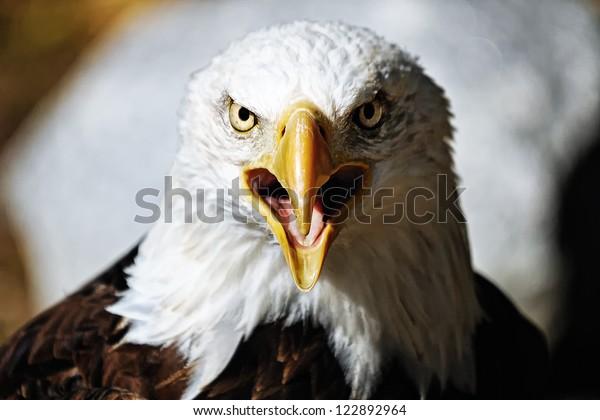 American Eagle / Bald Eagle