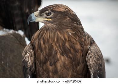 American eagle close-up