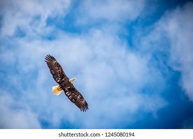 American eagle flying over Sitka, Alaska