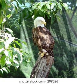American Eagle at Houston Zoo, Texas