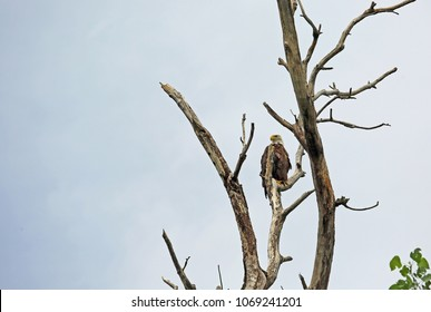American Eagle on dry tree  - Reelfoot Lake State Park, Tennessee