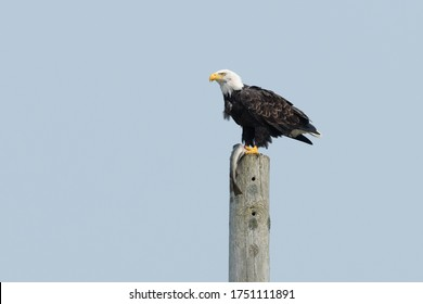 American eagle perched on a utility pole with a long fish in its claws, The bird has a bright yellow beak, white feathered head, brown body with bright orange claws. The animal has a large fish.