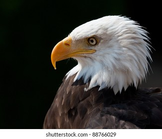 American eagle portrait with dark background. Side view.