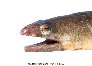 American Eel  (Anguilla rostrata). Fish head isolated on white background