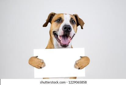 American election activism concept with staffordshire terrier dog.  Funny pitbull terrier holds empty sign in studio background