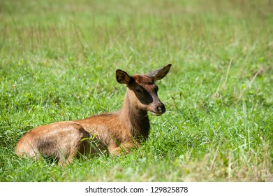 An American elk calf laying down in an open meadow in Smoky Mountain National Park