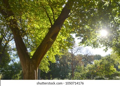 American Elm tree in Central  park NY in spring with sun shining through the branches