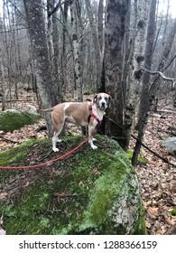 American English Coonhound hiking