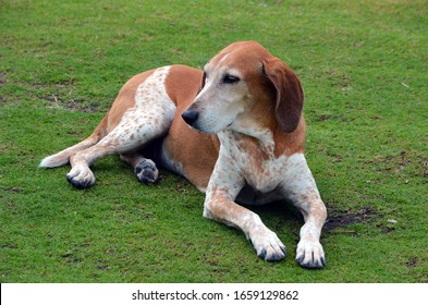 An American English Coonhound resting on the grass at Southpointe Park in Miami Beach,Florida