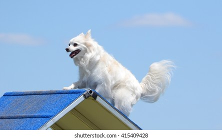 American Eskimo Dog Climbing Over an A-Frame at Dog Agility Trial