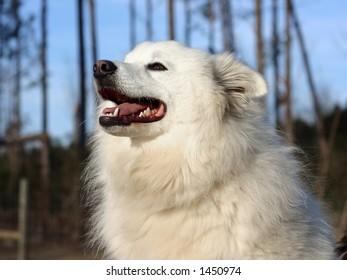 An American Eskimo Dog - Eskie