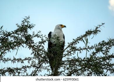 American fish eagle perches above Amboseli National Park in Kenya