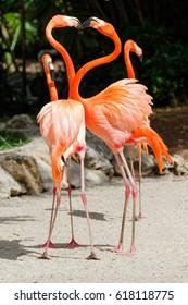 American Flamingo, Everglades National Park, Florida, USA